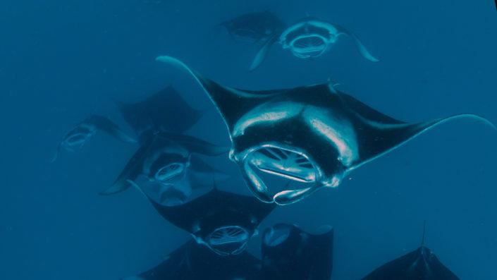 manta ray diving Maldives