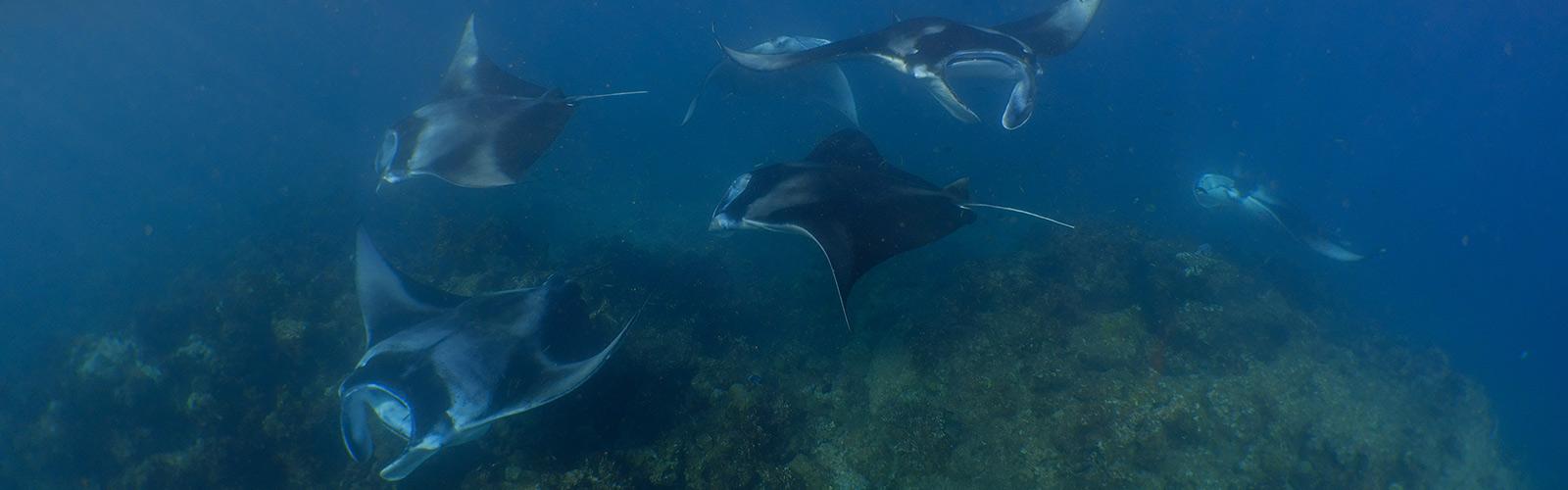 Mantas Hanifaru Bay Maldives