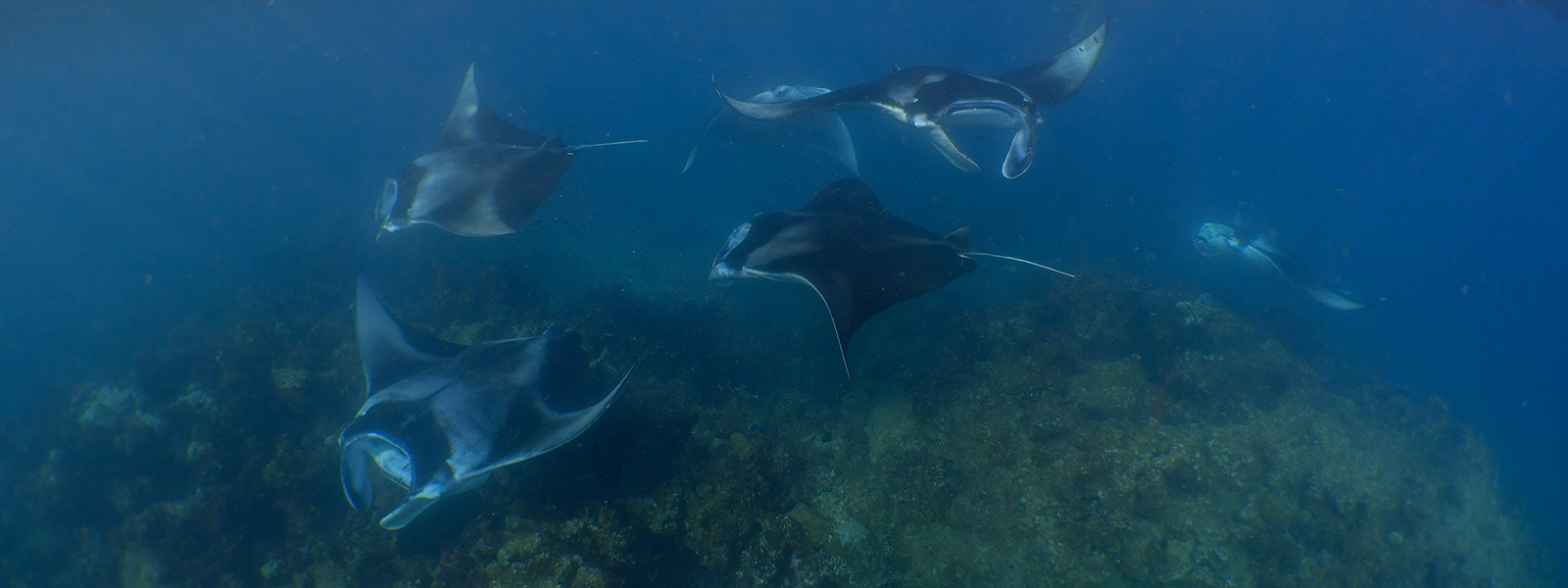 Mantas at Hanifaru Bay Maldives