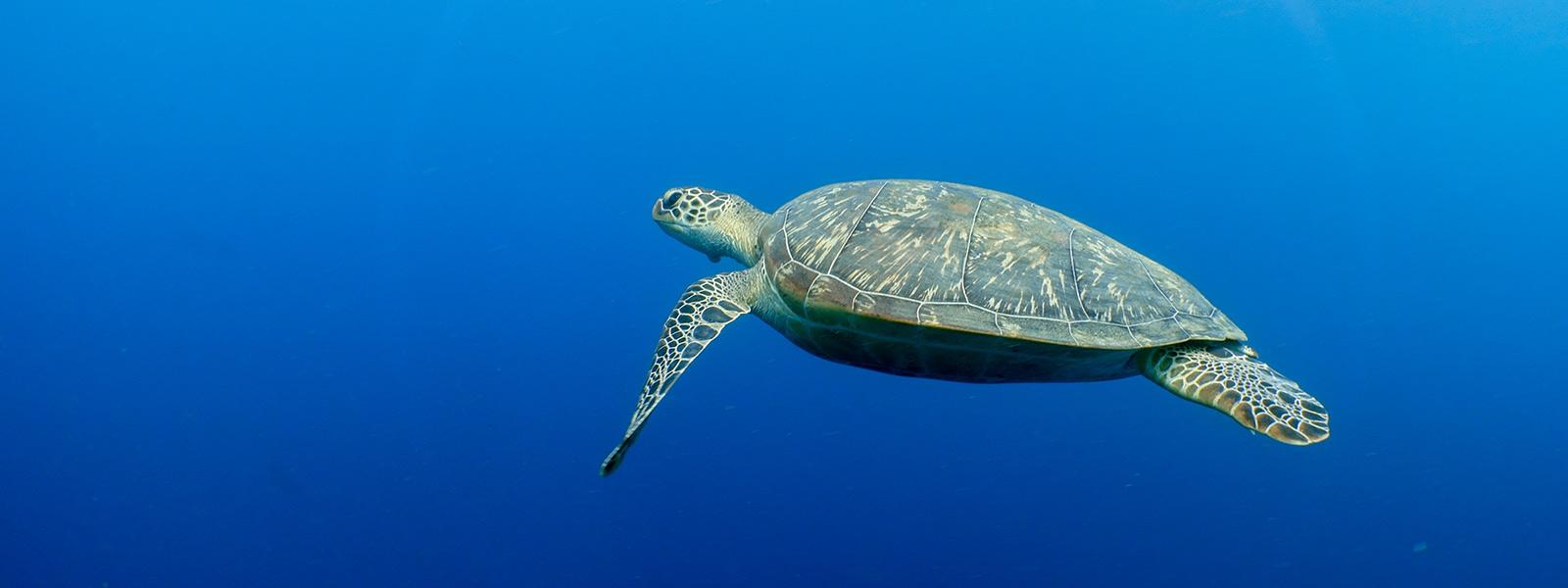 Maldives Green Sea Turtle