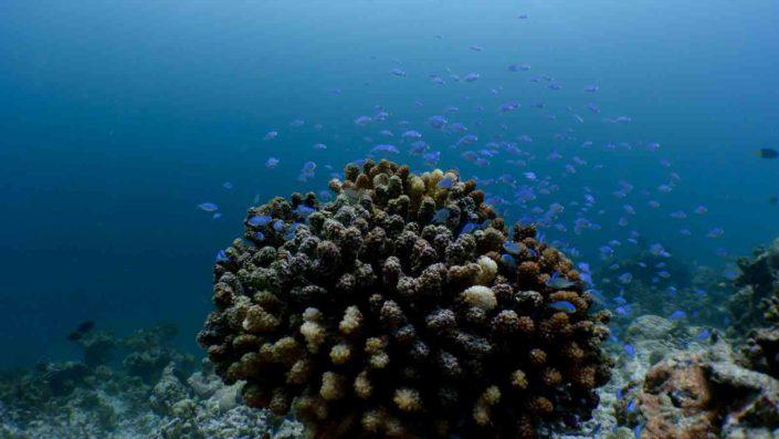 Maldives coral marine life